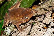 Ecuador, April 29 2010: Frog on leaf at Río Canandé Reserve. Copyright 2010 Peter Horrell