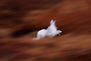 I captured this mountain hare the instant it bolted from its resting place in the heather. I used a slow shutter speed to create an abstract impression that I feel eccentuates the feeling of motion and energy.
