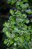 Hawthorn (Crataegus monogyna) flower buds and leaves in the spring in the Fraser Valley of British Columbia, Canada
