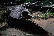 West African slender-snouted crocodile,<br /> Crocodylus cataphractus (c)