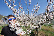 Lower Austria's Wachau, a picturesque part of the Danube valley, is famous for its apricot trees. Beginning of April, they are in full bloom and attract not only bees and bumble bees, but also visitors from near and far.
