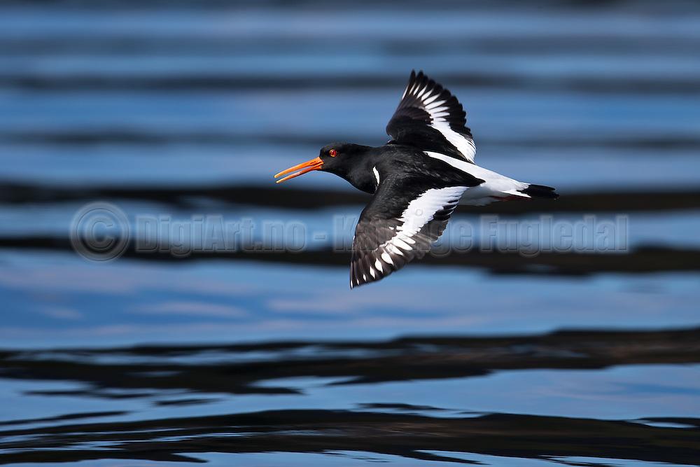 Escaping Oystercatcher on black and blue striped background  Tjeld i flukt på sort og blå stripet bakgrunn.