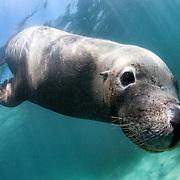 Endangered Australian sea lion (Neophoca cinerea) being inquisitive