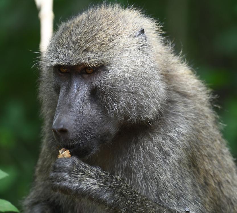 An albino female olive baboon (Papio anubis) sits beside a track. Arusha National Park. Arusha, Tanzania. An olive baboon (Papio anubis) sits beside a track cracking and eating nuts. Arusha National Park. Arusha, Tanzania.