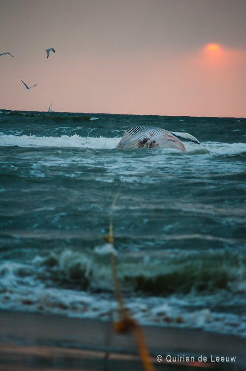 Een aangespoelde Bruinvis voor de kust van Scheveningen.