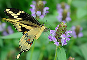 Giant swallowtail, Ozark forest, Baxter County, Arkansas