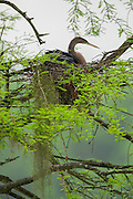 Nesting Anhinga female in rain