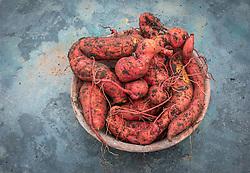 Ipomoea batatas 'Evangeline' - Sweet potato