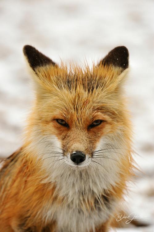 Red fox (Vulpes vulpes), Greater Sudbury, Ontario, Canada