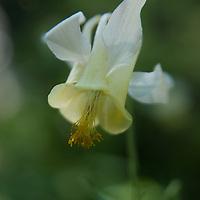 Yellow Columbines (Aquilegia flavescens) grow in the Madison Range of the Rocky Mountains, near Big Sky, Montana