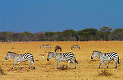 A herd of Common Plains Zebra (Grant's) Grumeti, Tanzania RESERVED USE - NOT FOR DOWNLOAD -  FOR USE CONTACT TIM GRAHAM