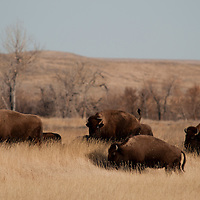 The 123,000 acre American Prairie Reserve south of Malta in northern Montana is an intact grass and sage steppe prairie ecosystem.  There are 215 buffalo on the reserve with the numbers growing with spring calves. 71 pure bison calves from Canada were reintroduced into the buffalo herd on the American Prairie Reserve on March 8th, 2012.