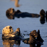 Sea Otter, (Enhydra lutris) Swimming and  eating clams in Monterey Bay. California.