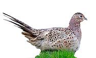 Pheasant - Phasianus colchicus - female