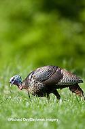 00845-07006 Eastern Wild Turkey (Meleagris gallopavo) jake in field, Holmes Co., MS