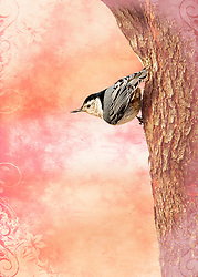 A White Breasted Nuthatch In A Typical Tree Posy With A Rosy Finish