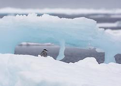 Arctic Tern (Sterna paradisaea) on drifting ice, Spitsbergen, Svalbard