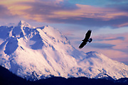 Bald Eagle, Alaska Native-Cordova-Alaska-travel-photographer-Randy-Wells, Image of a bald eagle in flight on the Kenai Peninsula, Alaska, the bald eagle is a bird of prey and national bird and symbol of the United States of America
