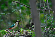 Fairy Pitta, Pitta nympha, sitting on the ground in the forest with an insect in its beak, Guangshui, Hubei province, China
