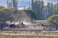 PEONES ARREANDO GANADO VACUNO HEREFORD EN UN CORRAL, ESTANCIA LELEQUE, PROVINCIA DEL CHUBUT, ARGENTINA (PHOTO © MARCO GUOLI - ALL RIGHTS RESERVED)