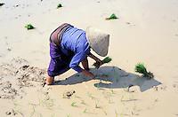 Laos - Muang Sing - Repicage du riz