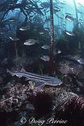 pyjama shark, striped catshark, or pyjama catshark, Poroderma africanum, in forest of bull kelp, Pyramid Rock, Miller's Point, False Bay, Cape of Good Hope, South Africa