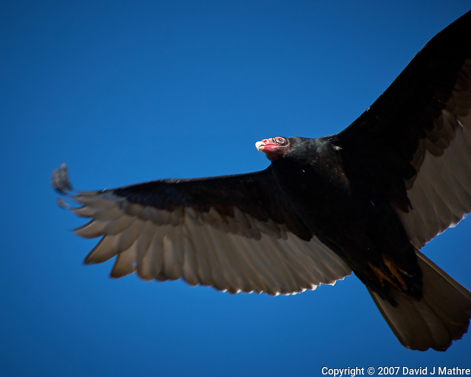 Turkey Vulture soaring. Image taken with a Nikon D2xs camera and 80-400 mm VR lens (ISO 100, 400 mm, f/5.6, 1/400 sec).