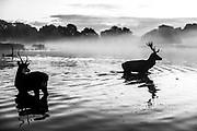 Two Stags are seen crossing through a pond ahead of sunrise during the breeding season which takes place in autumn, in Bushy Park, south-west London on Friday, Oct 16, 2020. (VXP Photo/ Vudi Xhymshiti)