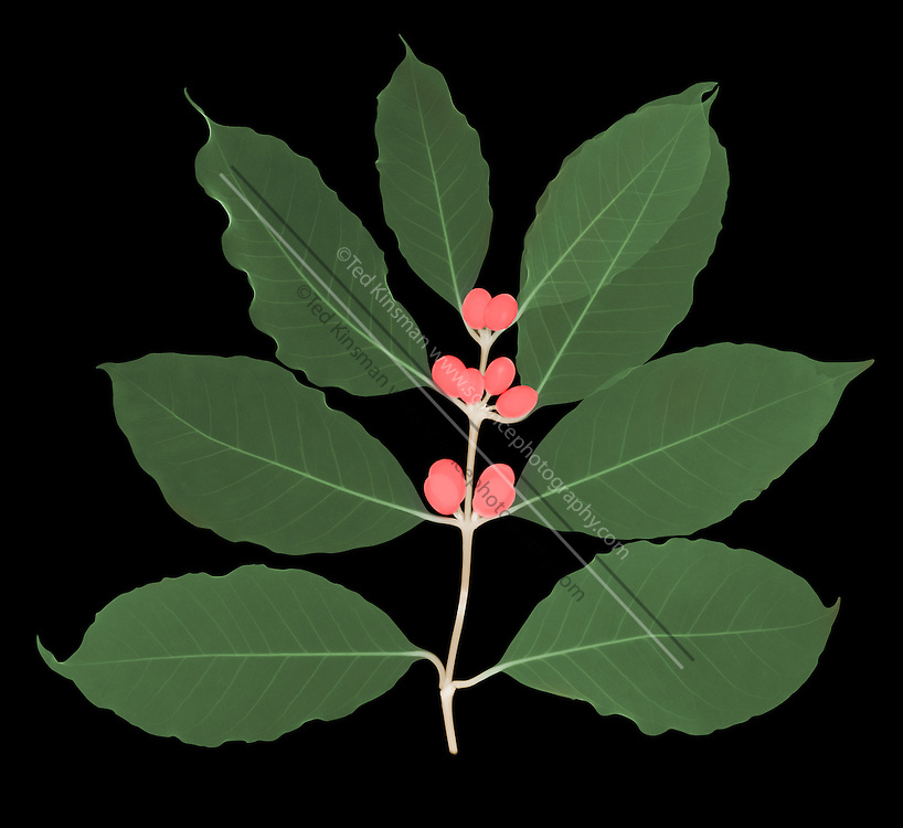 An x-ray of a coffee branch with berries. (Coffea sp.)