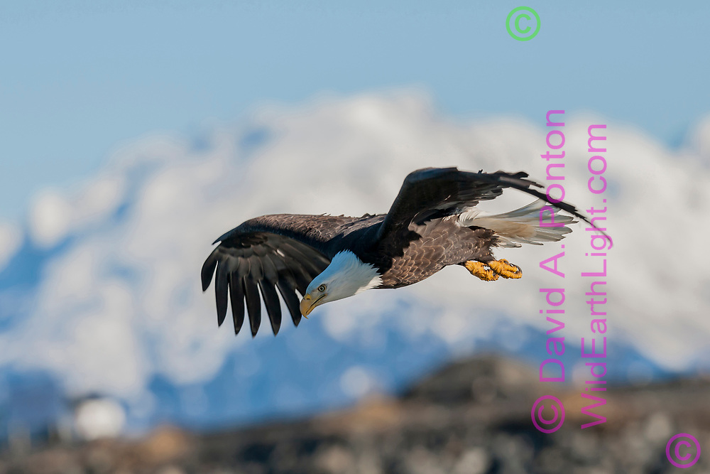 Bald eagle in flight, looking down, with snowy mountain range in background, © 2005 David A. Ponton