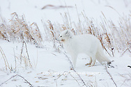 01863-01607 Arctic Fox (Alopex lagopus) in winter Churchil Wildlife Management Area Churchill, MB
