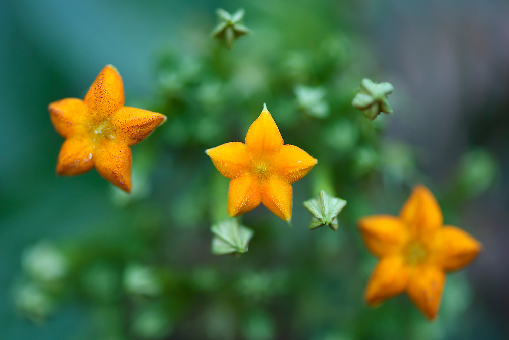 Mussaenda pubescens, Tongbiguan nature reserve, Dehong prefecture, Yunnan province, China
