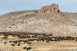 Bison pens during bison roundup, Ladder Ranch, west of Truth or Consequences, New Mexico, USA.