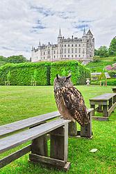 Owl at garden in front of Dunrobin Castle, Scotland, UK