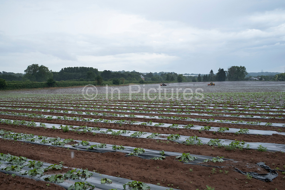 Landscape view of two tractors moving across planting agricultural fields of courgettes on 17th June 2020 in Hartlebury, United Kingdom. The zucchini or courgette is a summer squash, of Mesoamerican origin, which can reach nearly 1 metre in length, but is usually harvested when still immature at about 15 to 25 cm. A zucchini is a thin-skinned cultivar of what in Britain and Ireland is referred to as a marrow.