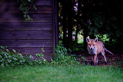 Red fox, vulpes vulpes, appears from behind a shed in a suburban garden, Leicester, England, UK.