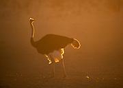 Common Ostrich, Struthio camelus, male at dawn, Kalahari, South Africa, sunrise, golden sunlight, backlight