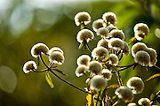Nova Lima_MG, Brasil...Estacao Ecologica Mata dos Fechos. Na foto, flores..The Ecological Station Mata dos Fechos. In this photo the flower...Foto: JOAO MARCOS ROSA / NITRO