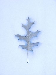 A Pin Oak leaf creates a slight indentation as it rests in melting snow. East Bangor, Pennsylvania.