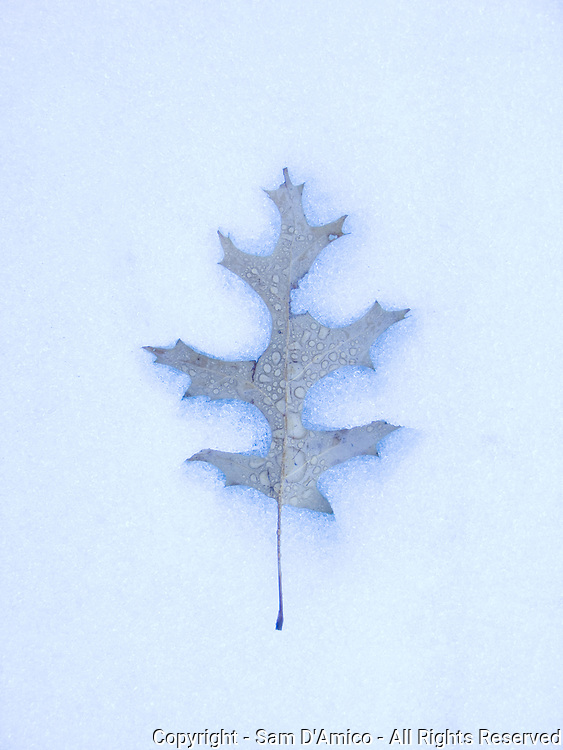 A Pin Oak leaf creates a slight indentation as it rests in melting snow. East Bangor, Pennsylvania.