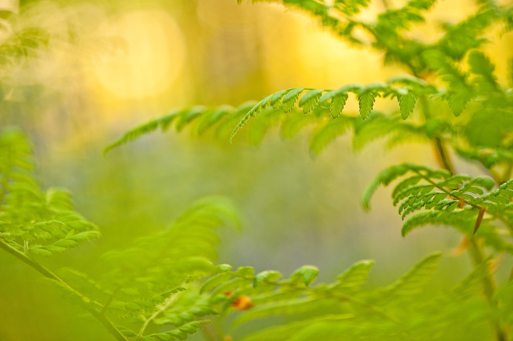 Ferns Pteridium aquilinum in Hallerbos forest, Belgium