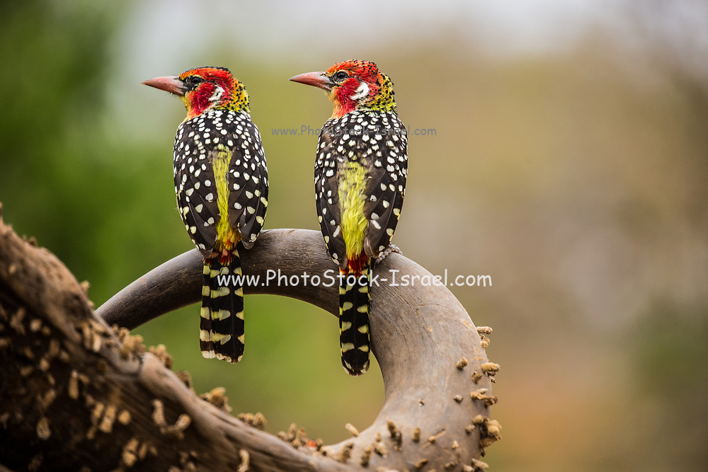Red and Yellow Barbet (Trachyphonus erythrocephalus). This type of barbet is found in woodland and scrubland throughout Kenya, where it builds its nests in termite mounds. The female of the species (shown here) has a red crown while the male crown is completely back.Photographed in Tanzania in August