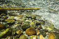 Mountain Whitefish (juvenile)with rainbow trout<br />