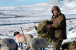 Dales farmer feeding sheep with hay in winter Yorkshire Dales UK