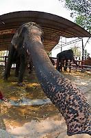 Elephantstay (Elephant village), Ayutthaya, near Bangkok, Thailand