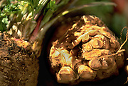 Close up selective focus photograph of some Celery roots or Celeriac on a table