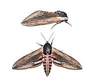 69.006 (1976)<br /> Privet Hawk-moth - Sphinx ligustri