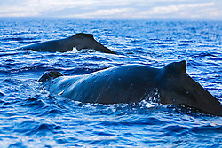 Humpback Whales, breathing at surface, Megaptera novaeangliae, note numerous whale warts - bumps or swellings made by parasitic worms which coil up into tight balls infesting the subdermal layer, Hawaii, Pacific Ocean.