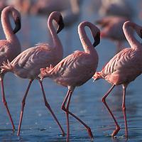 Kenya, Lake Nakuru National Park, Lesser Flamingoes (Phoeniconaias minor) flock in Lake Nakuru in early morning
