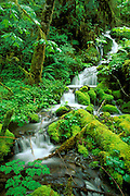 Lush groundcover and cascade along the Quinault River, Quinault Rain Forest, Olympic National Park, Washington USA